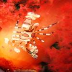 harlequin srimp gato island by Sven Zenker