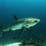 thresher shark Alex Stroyda 1