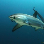 thresher sharks Alex Stroyda 2