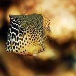 Kofferfisch mit Putzergarnele