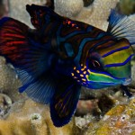Mandarin fish by Gery Beeckmans 4