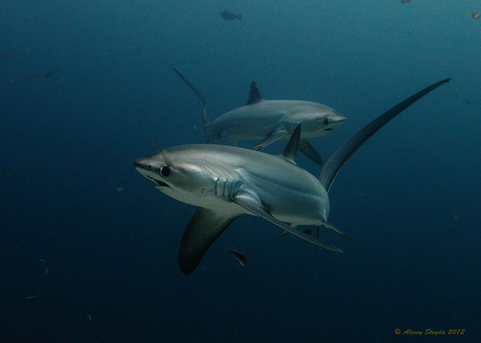 thresher sharks Alex Stroyda